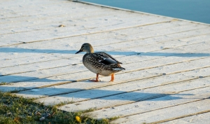 Duck on frosty boardwalk.