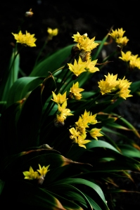 Yellow Allium
