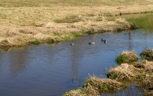 Ducks on a stream through the marsh.