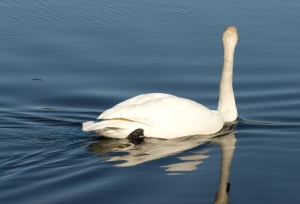 Trumpeter swan on lake.