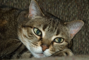 A resting tabby cat.