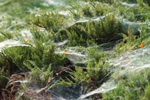 Spider webs convering juniper branches.