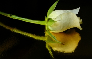 A white rose on a gold reflective surface.