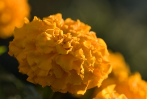 The Unassuming Marigold