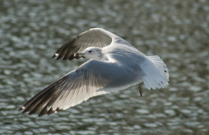 Gull In Flapping Flight