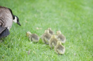 Goslings - Baby Geese