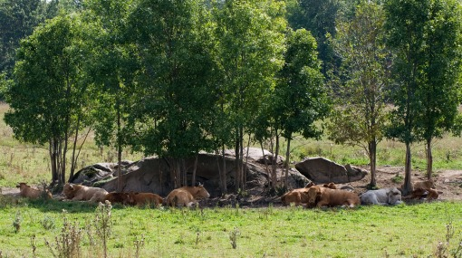 FarmStuff2 - photo of farm field with trees and rocks, grazing cows and cows under trees,