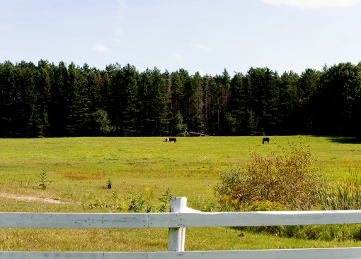FarmStuff5 - a well-tended farm field with grazing cows, white fencing and a thick forested background.