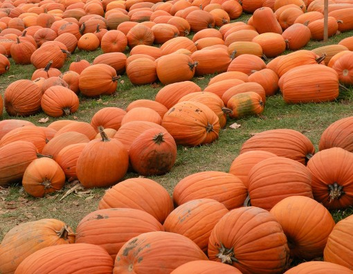 Pumpkins in Rows