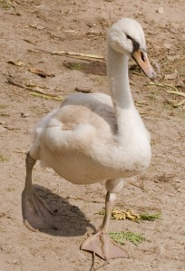 4 month old cygnet of a mute swan with white coloring