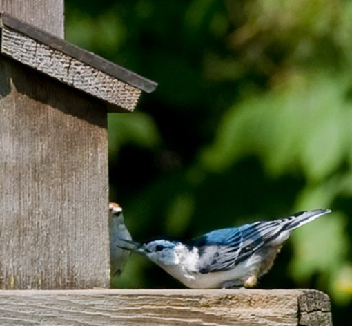 young bluejay and sparrow at bird feeder