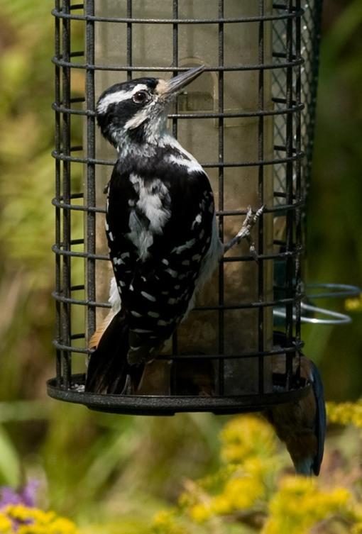 female hairy woodpecker at bird feeder