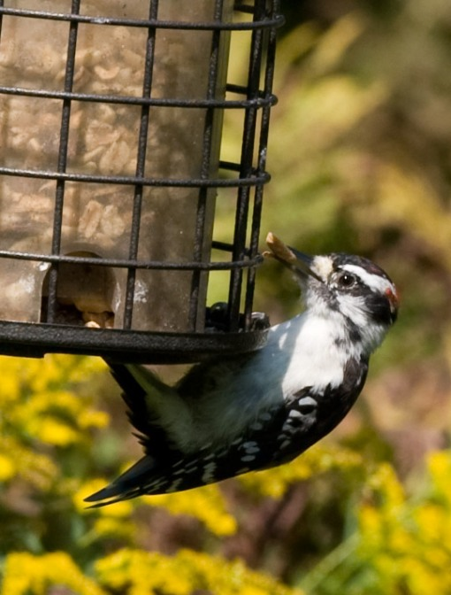 male hairy woodpecker at feeder