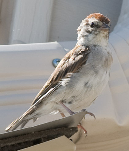 small house sparrow at the edge of a rooftop