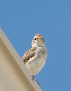 small sparrow perched at the edge of a rooftop