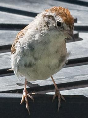 small house sparrow