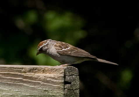 small brown sparrow at bird feeder