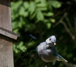 young bluejay at a feeder with a peanut in it's beak