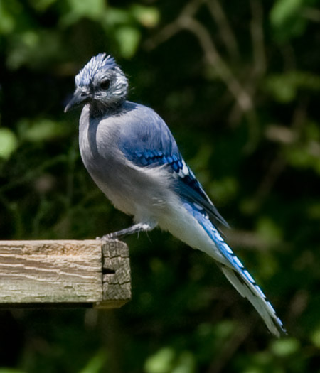 young bluejay at bird feeder
