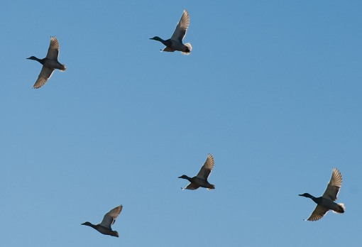 Geese in flight, backlit by the sun from above. Langman Sanctuary.