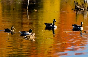 Thanksgiving weekend at Langman Wildlife Sanctuary - ducks and geese on an autumn pond.