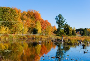 Autumn at the wildlife reserve - marsh in fall colours against blue pond with ducks and geese.