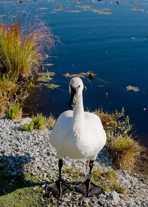 Trumpeter Swan at Langman Sanctuary - October