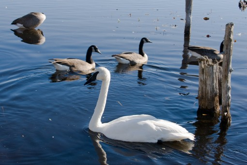 Thanksgiving weekend at Langman Sanctuary - Trumpeter Swan
