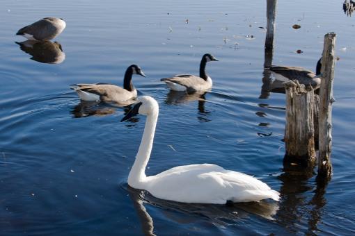 Thanksgiving weekend at Langman Sanctuary - Trumpeter Swan